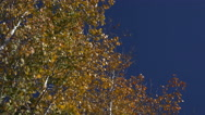 Stock Video Footage of 4K Aspen Trees Quaking Leaves Blue Sky