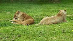 Safari Park Lioness preening and yawning Stock Footage