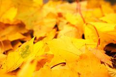 Yellow autumn maple leaves fallen Stock Photos