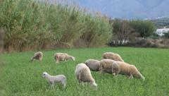 Herd Stock Footage