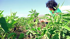 4k eggplant harvest. beautiful female hand collect farmland eggplant vegetabl Stock Footage