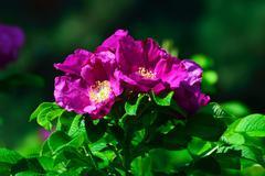 Blooming wild rosehip closeup Stock Photos