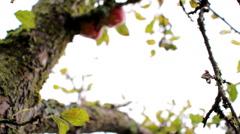Red apple trees autumn  Stock Footage