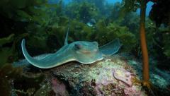 Eagle ray resting amongst stalk kelp Stock Footage
