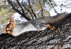 Squirrel (sciurus vulgaris) Kuvituskuvat
