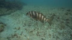 Red moki fish swimming underwater Stock Footage