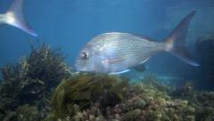 Snapper swimming amongst seaweed Stock Footage