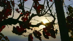 Dolly: Rays of sunlight shine through red grape leaves in fall vineyard - stock footage