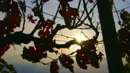 Stock Video Footage of Dolly: Rays of sunlight shine through red grape leaves in fall vineyard