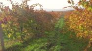 Stock Video Footage of Sunny vineyard in light haze of an autumn day near Inkerman