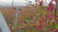 Stock Video Footage of Dolly: Vineyard red leaves in the fall close-up