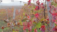 Stock Video Footage of Vineyard red leaves in the fall close-up