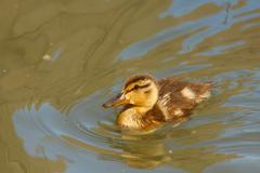 Stock Photo of Little  mallard duck duckling, swimming around in green water
