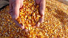 Corn grains in a hand - good harvest, slow motion Stock Footage