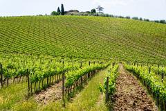 Vines, chianti region, tuscany, italy, europe Stock Photos