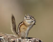 Least chipmunk (neotamias minimus) eating, custer state park, south dakota, u Stock Photos