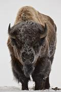 Bison (bison bison) bull covered with frost in the winter, yellowstone nation Stock Photos