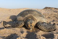 Green turtle, ras al jinz, oman, middle east Kuvituskuvat