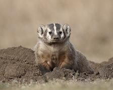 badger (taxidea taxus), custer state park, south dakota, united states of ame - stock photo