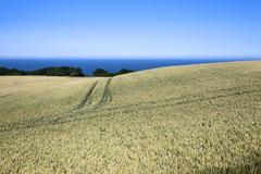 Wheat crop ripening by the north sea at osgodby, scarborough, north yorkshire Stock Photos
