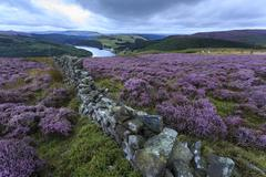 heather covered bamford moor, dry stone wall and ladybower reservoir at dawn  - stock photo