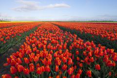 Rows of orange tulips, north holland, netherlands, europe Kuvituskuvat
