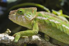 Globe-horned chameleon (flat-casqued chameleon) (calumma globifer), endemic,  Stock Photos
