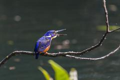 an adult azure kingfisher (alcedo azurea) swallowing a fish on the daintree r - stock photo