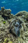 underwater view of giant clam (tridacna spp), pixies bommie, great barrier re - stock photo