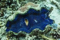 Underwater view of giant clam (tridacna spp), pixies bommie, great barrier re Stock Photos