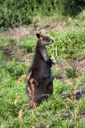 Wallaby near swan lake, phillip island, victoria, australia, pacific Stock Photos
