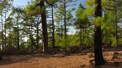 POV. Nature landscape, walking in mountain pine woods, Tenerife, Canary islands. Stock Footage