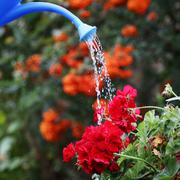 Water pouring from blue watering can onto blooming flower bed. - stock photo