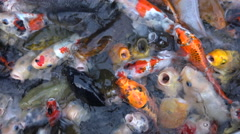 Close-up of koi or Japanese carp in a pond fighting over food Stock Footage