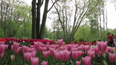 Garden of Tulips - stock footage