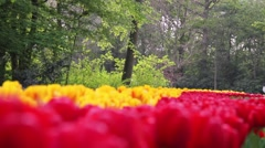 Tulip Garden in Keukenhof Amsterdam Stock Footage