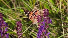 Painted Lady butterfly harvesting pollen from plant, Vanessa cardui Stock Footage