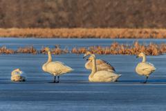 Whooper swan (cygnus cygnus) on lake Stock Photos