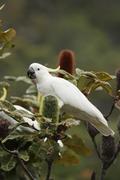 Stock Photo of sulphur-crested cockatoo (cacatua galerita)