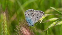 Silver-studded Blue butterfly, Plebejus argus Stock Footage