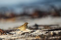 Meadow pipit (anthus pratensis) Stock Photos