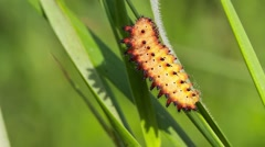 Southern Festoon caterpillar, Zerynthia polyxena - stock footage