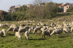 sheeps in an urban park in rome, italy - stock photo
