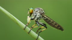 Stock Video Footage of asilidae (robber fly) on a grass with prey. thailand, phuket