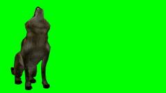 Stock Video Footage of Wolf howling medium shot green screen