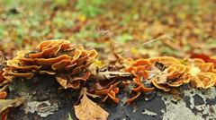 Autumn forest with mushrooms on a tree, close up shoot. HDR Stock Footage