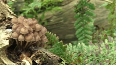 Coarse woody debris: Group of Mycena galopus, milking bonnet on birch - pan Stock Footage