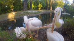 Group of Great White Pelicans Stock Footage