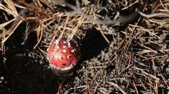 Mushroom Amanita caesareoides Stock Footage