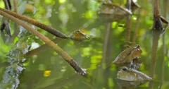 Mud Skippers fish in mangrove forest Stock Footage
